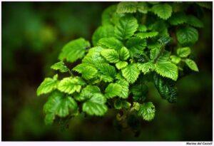 Proprietà terapeutiche del The Verde